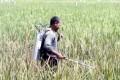 Di Pangandaran, Hektaran Sawah Diserang Hama Jamur Merah
