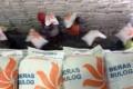 Hama Wereng Ancam Target Produksi Beras Ciamis