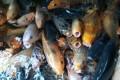 Ciamis Keluarkan Perbup Sentra Produksi Ikan Unggulan