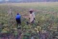Padi Gagal Panen, Petani di Ciamis Ini Bisa Untung dari Palawija