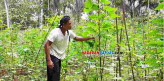 Petani Mentimun di Pangandaran