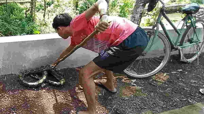 Usai Sahur, Warga Ciamis Tangkap Ular Sanca Kembang 3 Meter Pemangsa Ayam