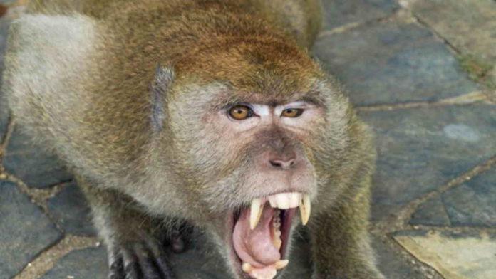 Tangannya Robek, Warga Cipaku Ciamis Digigit Monyet Peliharaanya