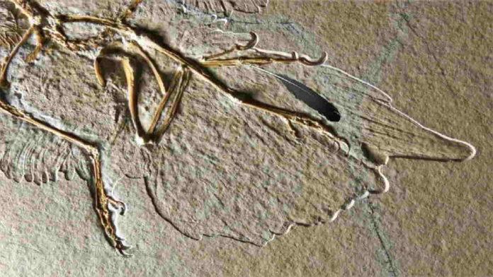 Fosil Bulu Archaeopteryx